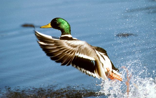 A mallard drake duck taking flight out of the wetlands of the Missouri Coteau in North Dakota that also provides habitat for pollinators and grassland birds.