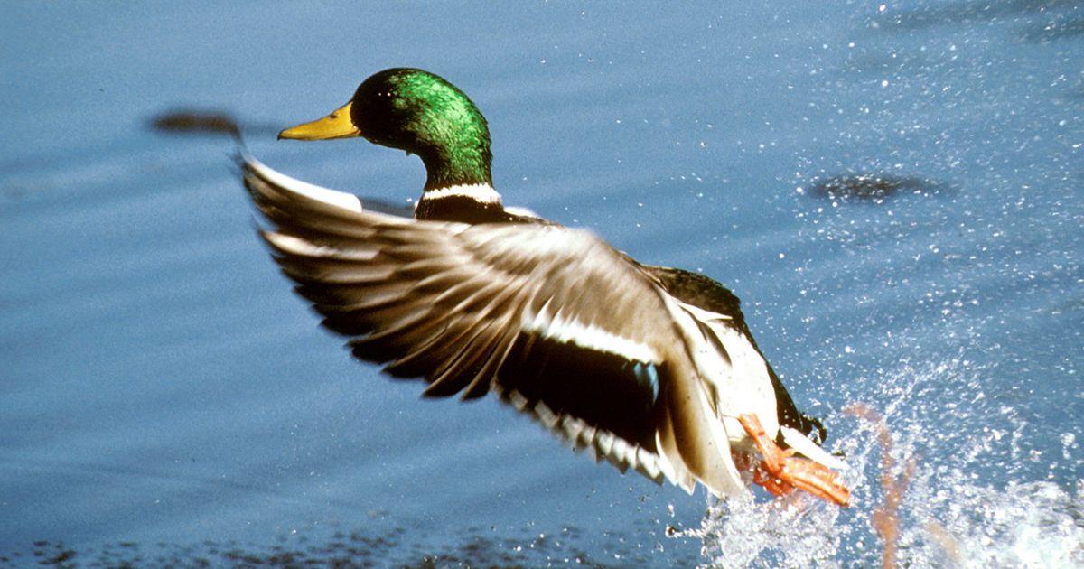 Mallard Drake Duck