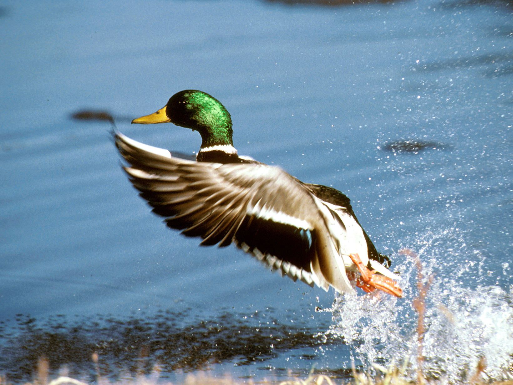 Mallard Drake duck flying out of water