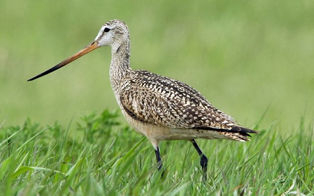 A brown bird with a long skinny beak and skinny black legs walks through green grass that is almost as tall as its legs.