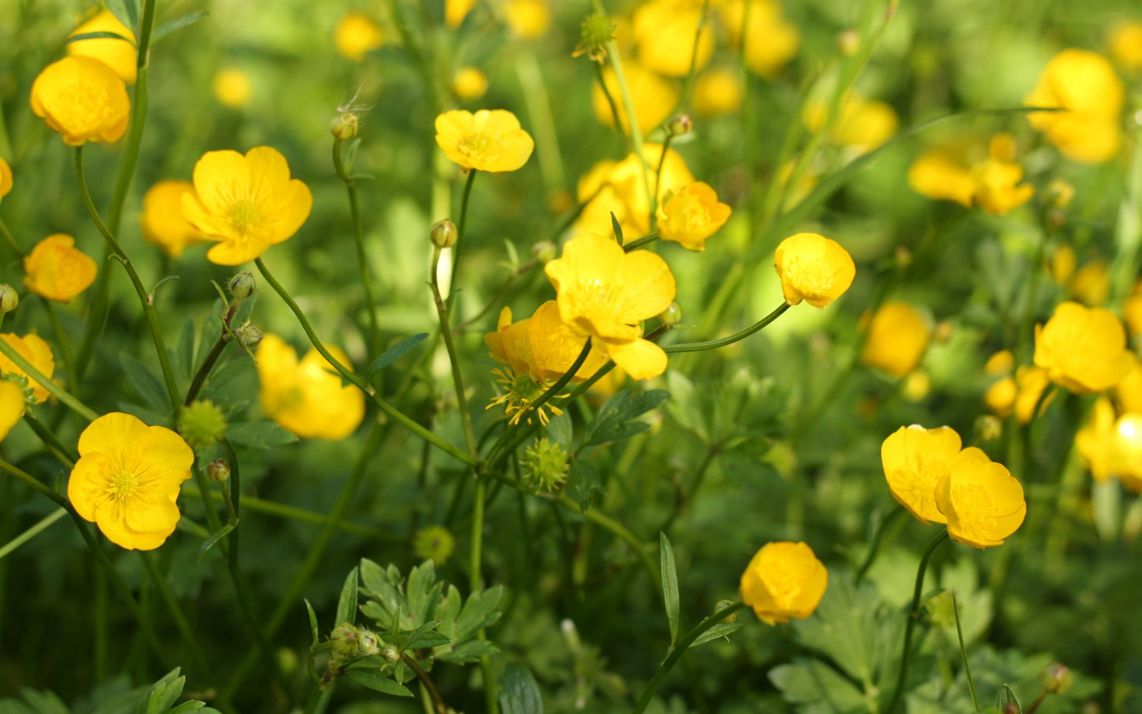 Small, yellow buttercup flowers.