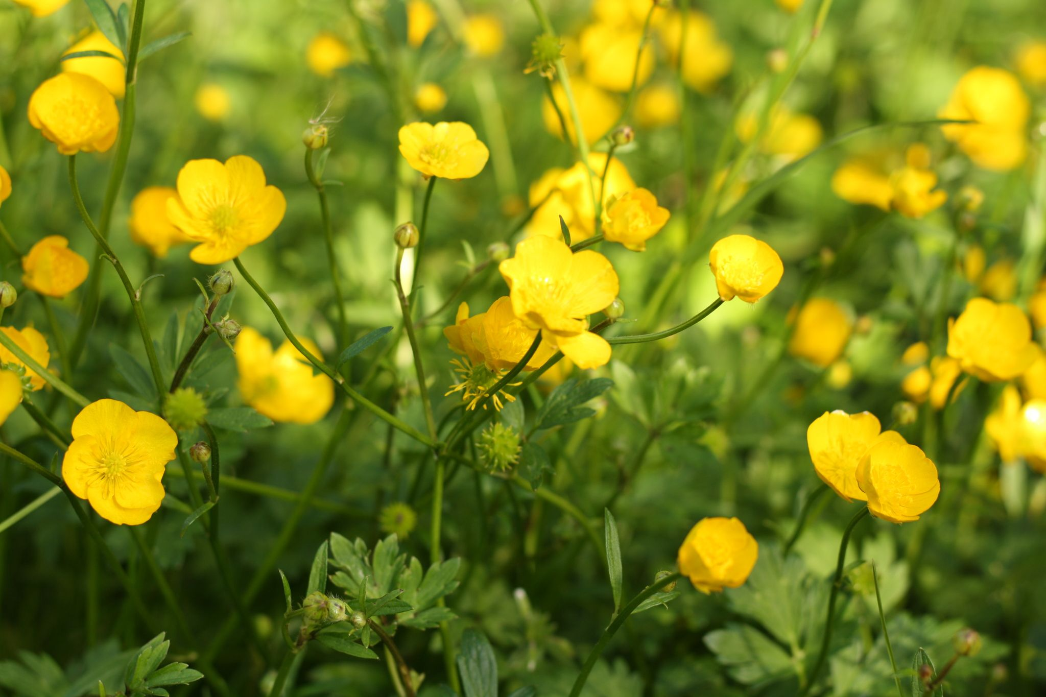 Meadow buttercup flowers are blooming in a field.