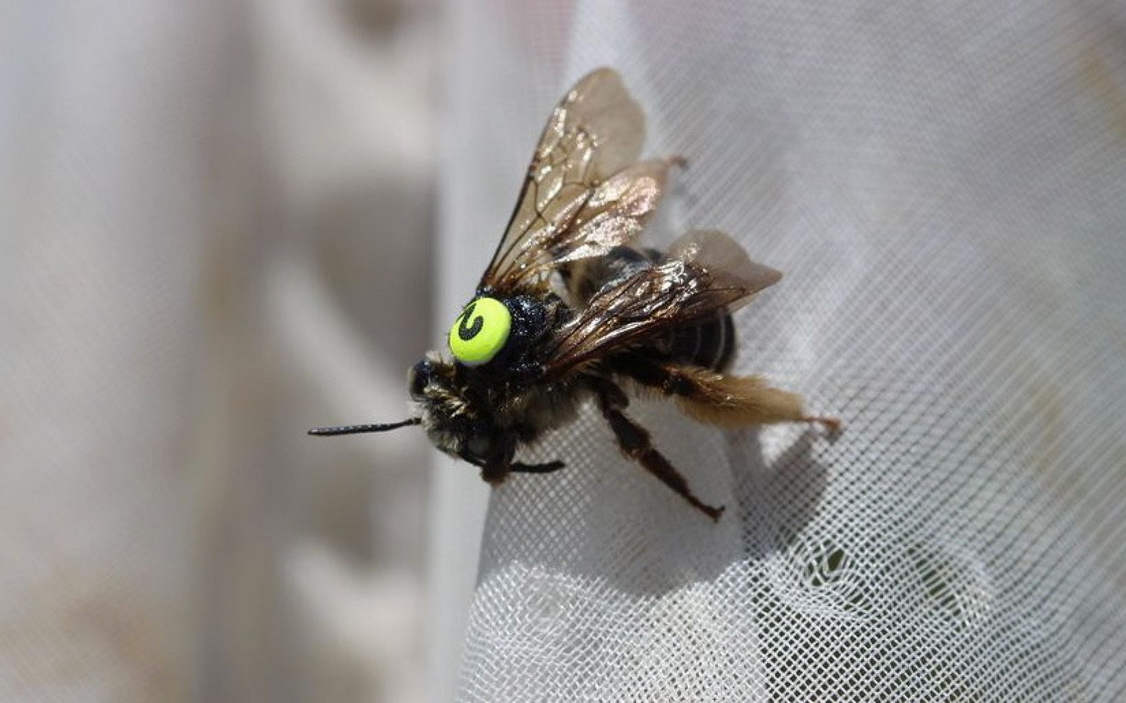 The Melissodes boltoniae is long-horned bee that does not have a common name. This bee has been fitted with a paper tag for Shelly Wiggam's research on solitary bees.