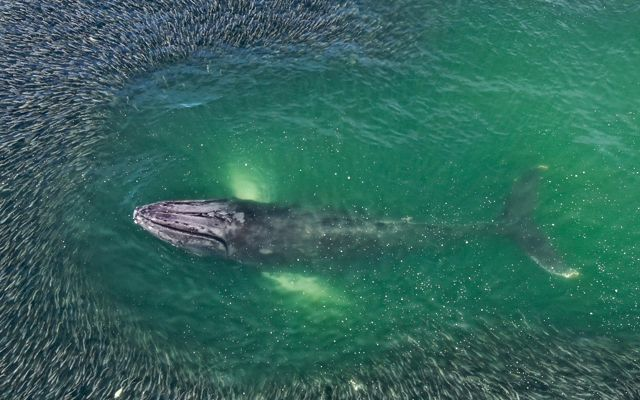 A school of menhaden surround a humpback whale in East Hampton, New York.