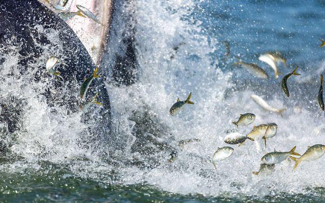 A whale feeding on menhaden fish