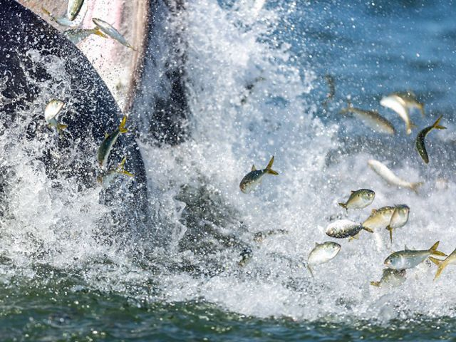 feeds on menhaden off of Atlantic Beach, New York.