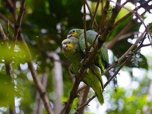 Dos cotorras paradas muy de cerca sobre la rama de un árbol