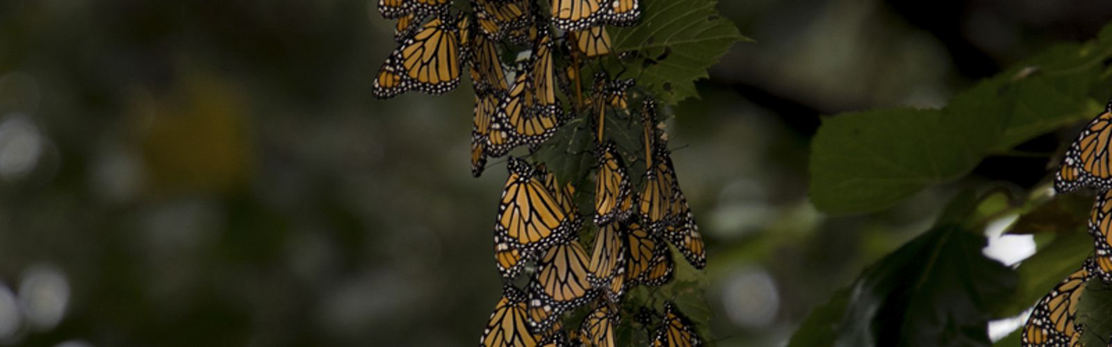 A large group of monarch butterflies rests in the trees at Cleveland's Wendy Park on the shore of Lake Erie. In autumn these butterflies left their Canadian home and crossed the expansive lake as they began the great journey south. They rested and refueled for only a couple of days before getting back in the air to continue their incredible journey.