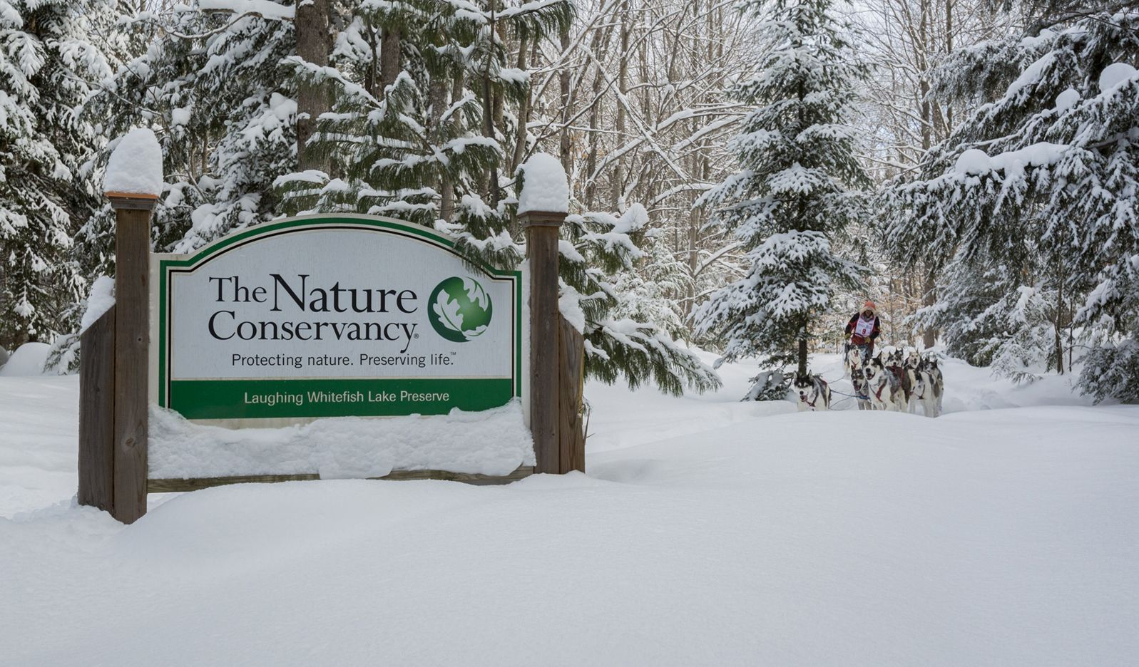 Sled dogs and their driver rush through the snow past a Nature Conservancy sign.