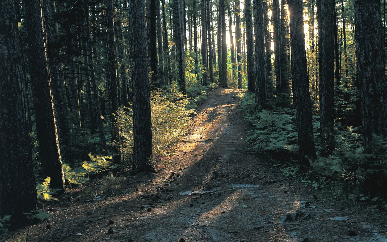 The sun streams through tall trees surrounding a brown footpath and green undergrowth.