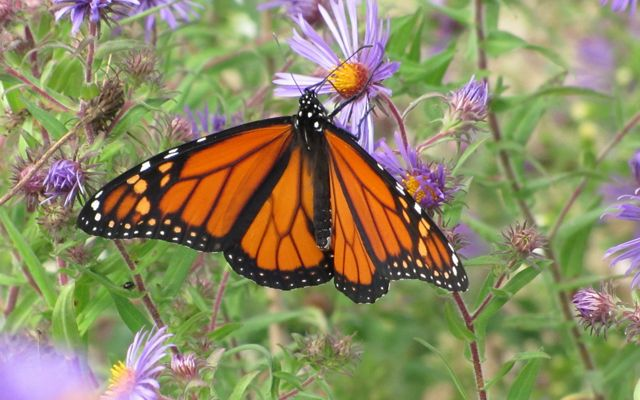 An orange butterfly with black veining and white spots sits on a star-like purple flower.