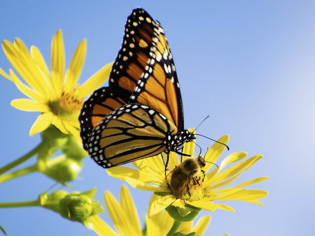 A monarch butterfly sits on a bright yellow flower in front of a clear blue sky at Evergreen Brickworks, Toronto, Canada.
