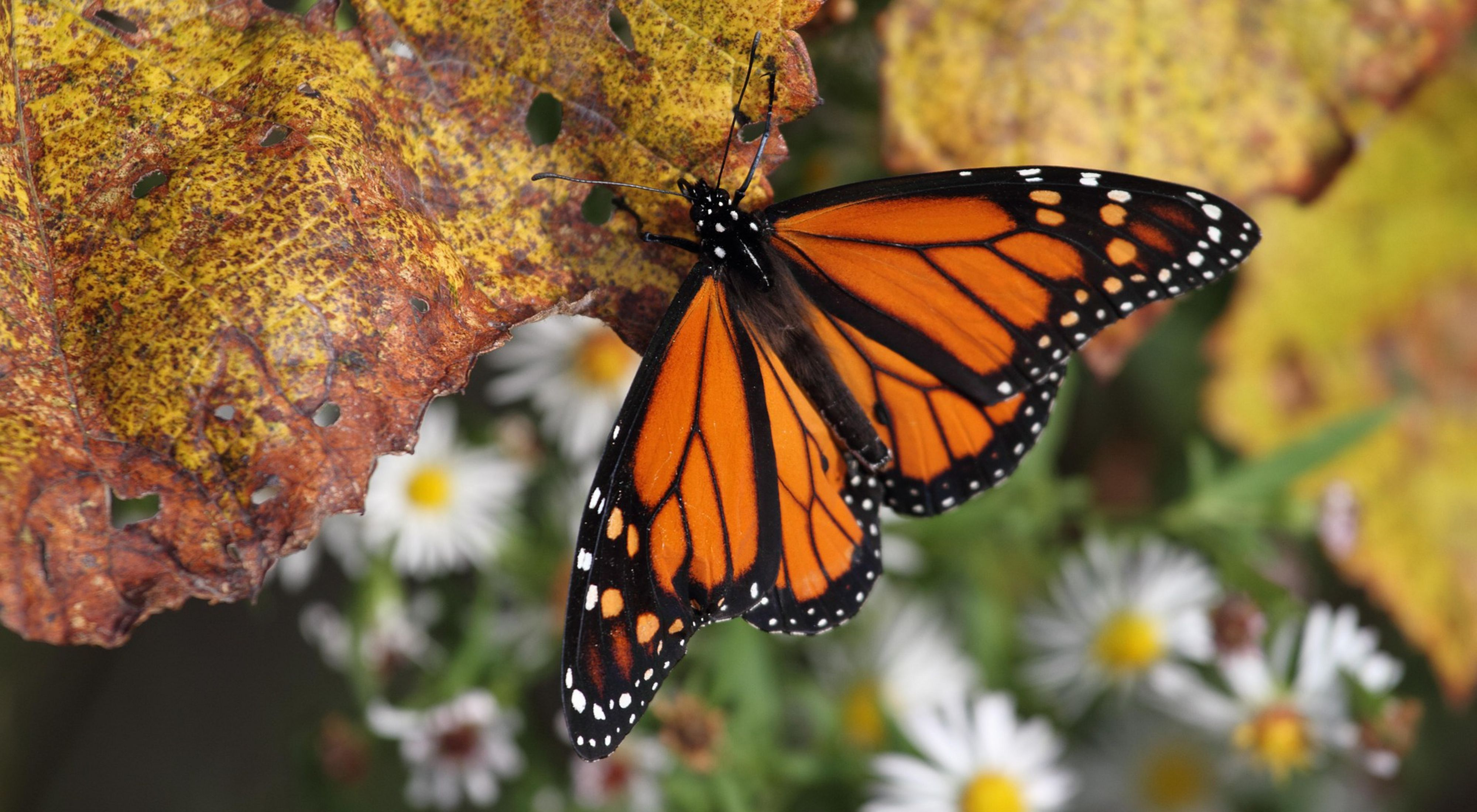 monarchs are widely recognized by their orange and black wings