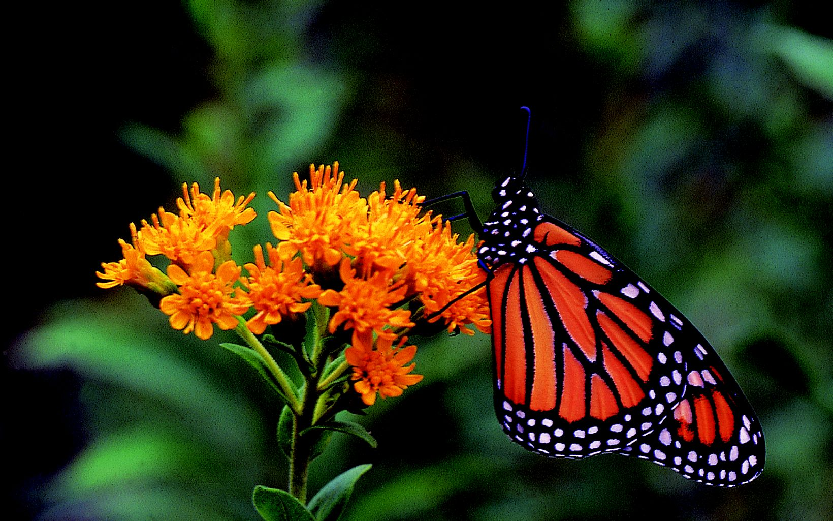 Monarchs and other butterflies feed on nectar from goldenrods and other wildflowers at Chiwaukee Prairie.