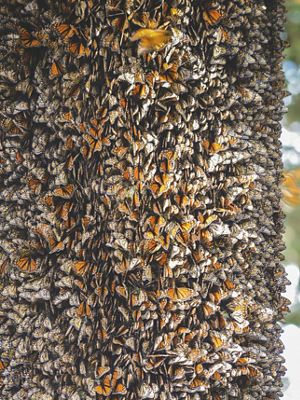 Hundreds of thousands of monarch butterflies wintering in the mountains of Valle de Bravo.