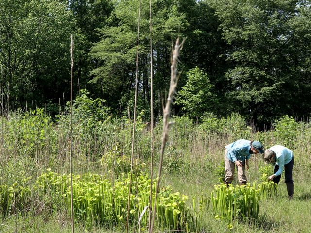 Two people bend over a patch of pitcher plants.