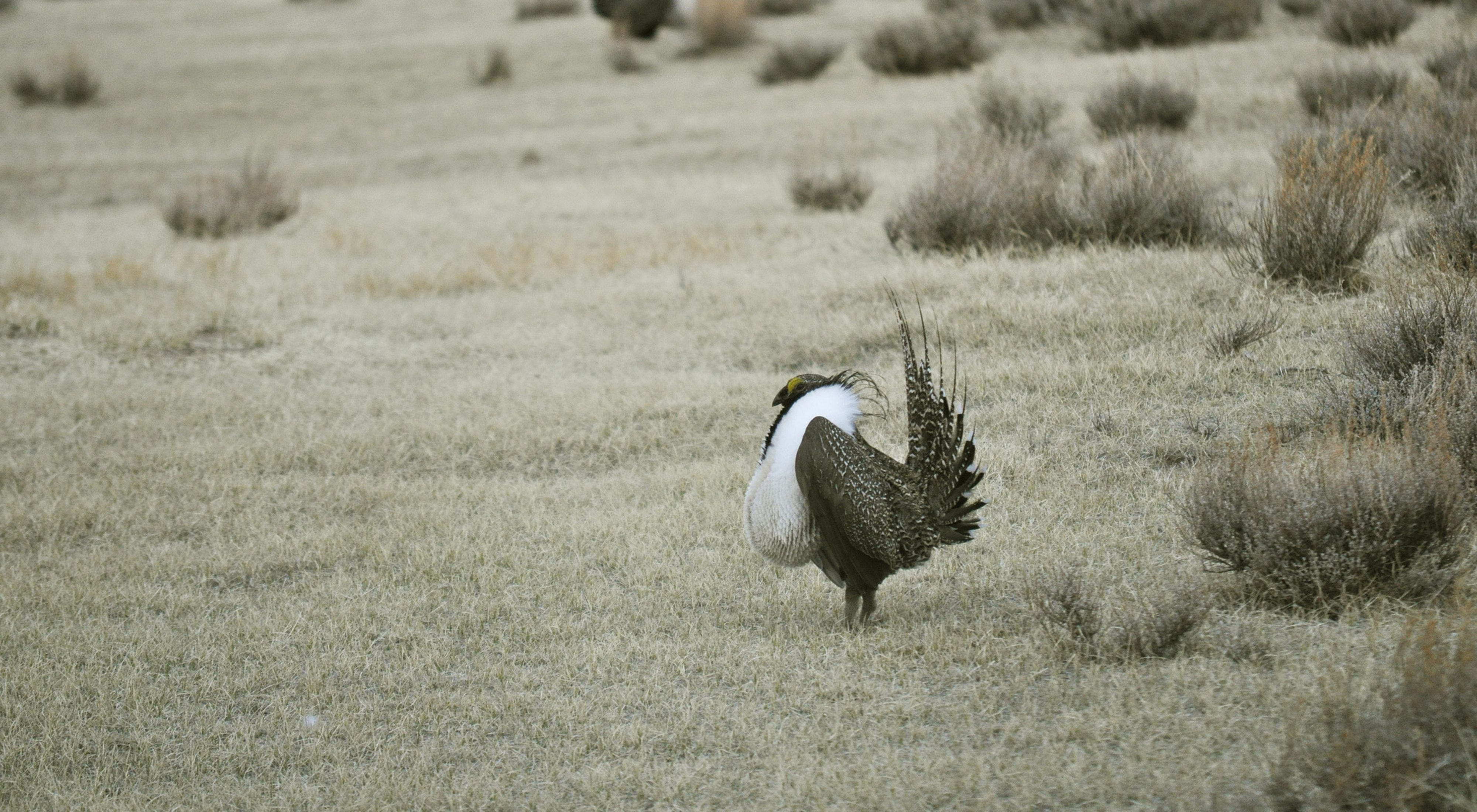 Male greater sage-grouse standing among the sagebrush