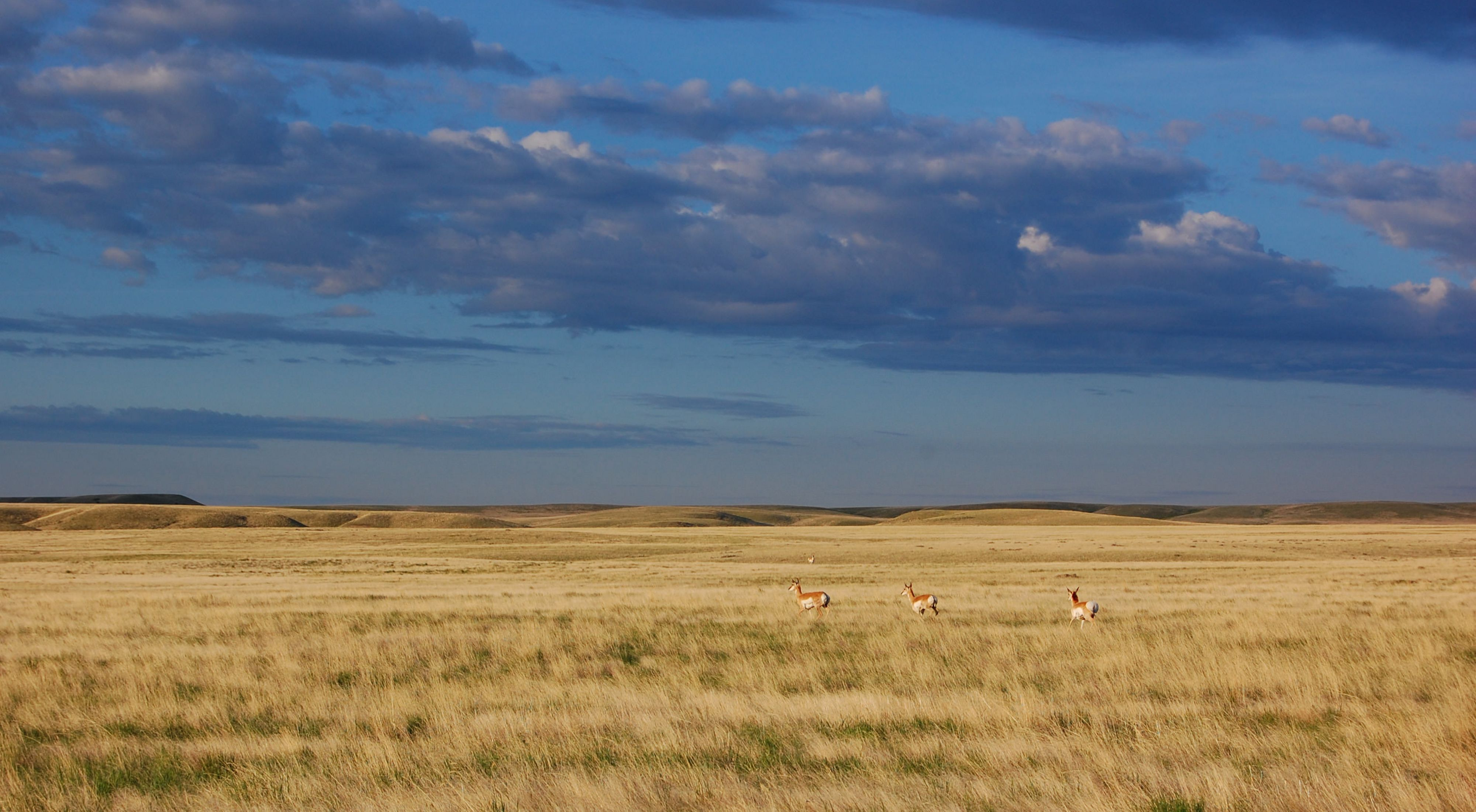 Pronghorn making their way across a Montana prairie