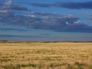 Pronghorn in Montana's Northern Prairie