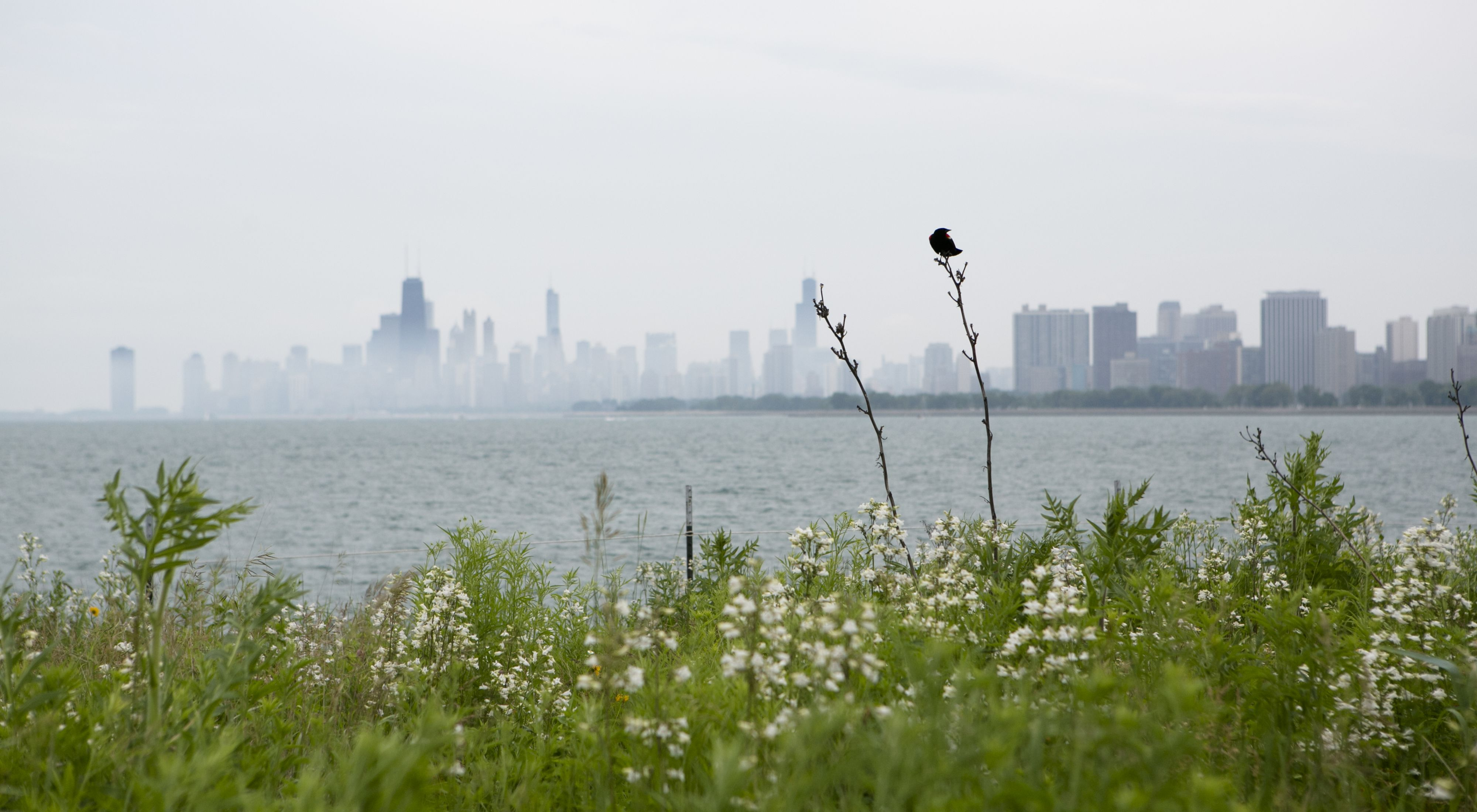 A Red-winged Black Bird at the Montrose Harbor bird sanctuary during a stewardship day on Saturday, June 22, 2013.