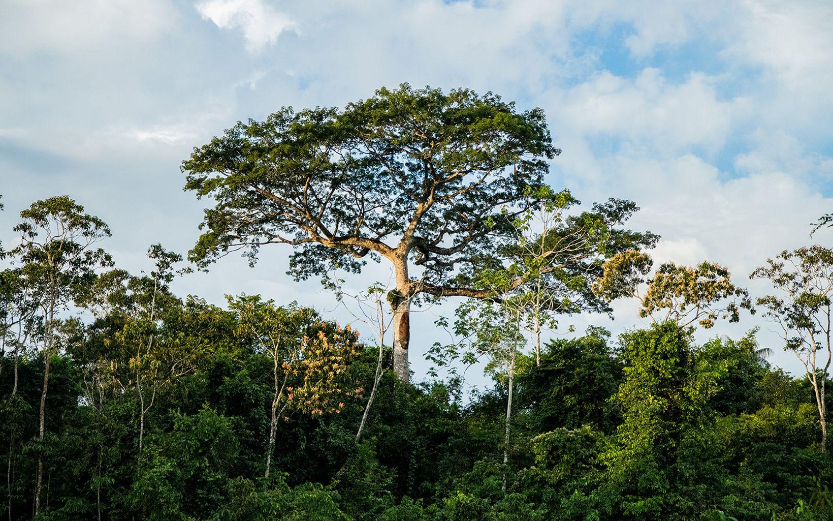 Una imponente ceiba destaca sobre la selva a orillas del río Peneya, Caquetá.