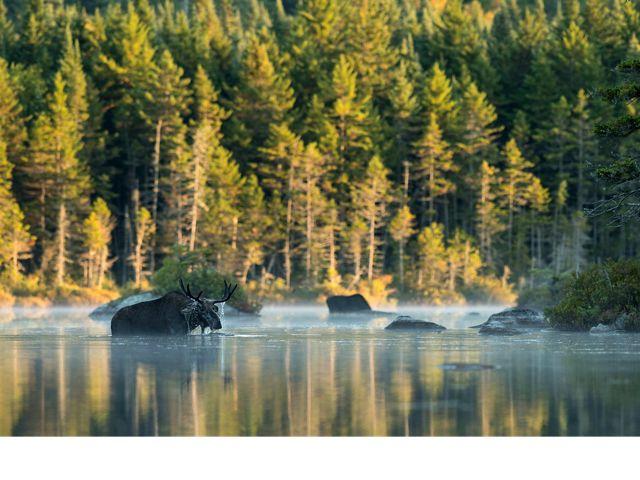 moose wading through water