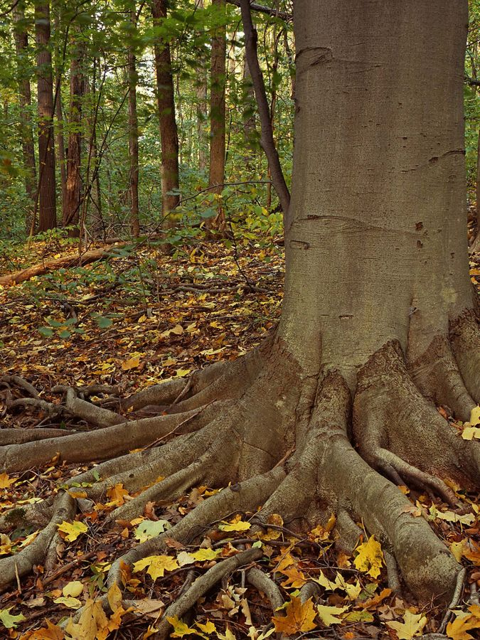 A large beech tree is surrounded by fallen leaves