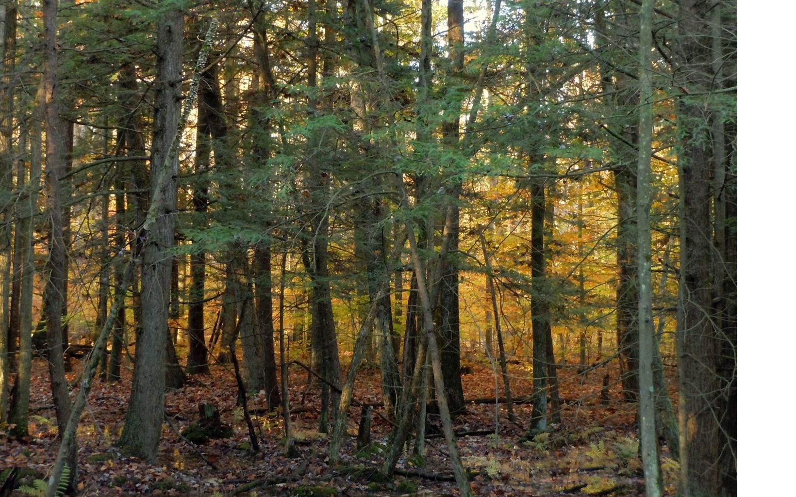 The preserve's hemlock-yellow birch swamp is very rare in Ohio. Morgan Swamp is the only occurrence of this type of habitat in the state.