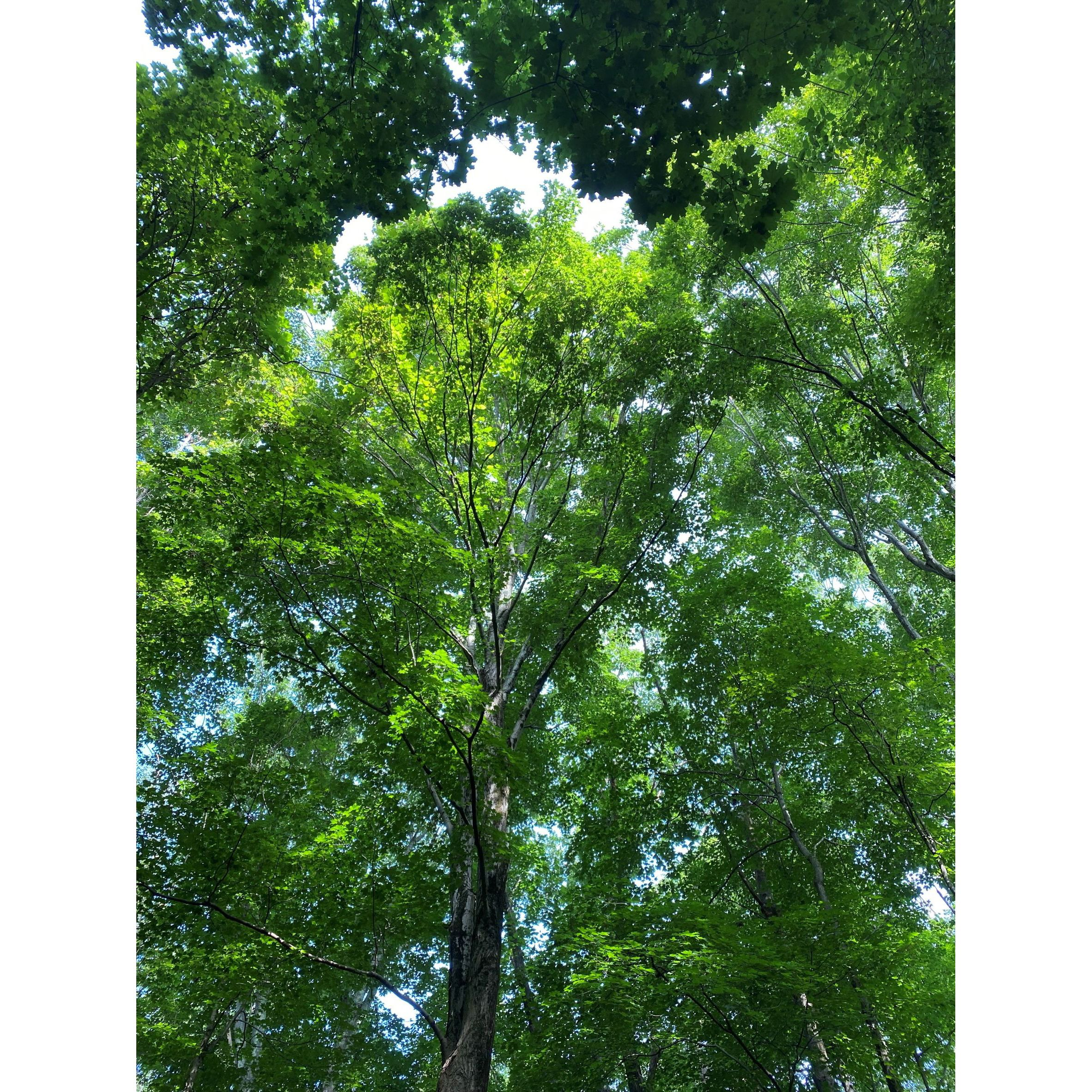 Looking way up at a solid, leafy green tree canopy, with blue and white sky peeking through.