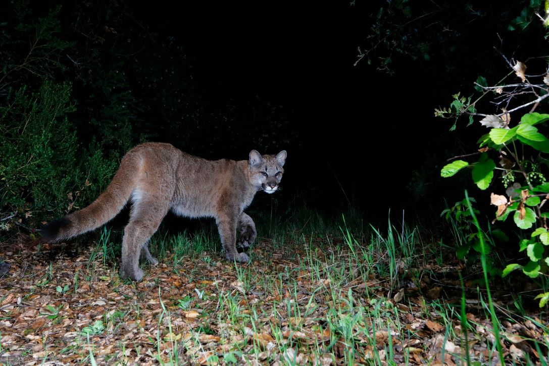 A tan mountain lion walks into the night away from the camera.