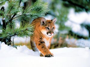 Also known as a cougar or puma, the mountain lion stalks a wide range of habitats from Canada to South America.