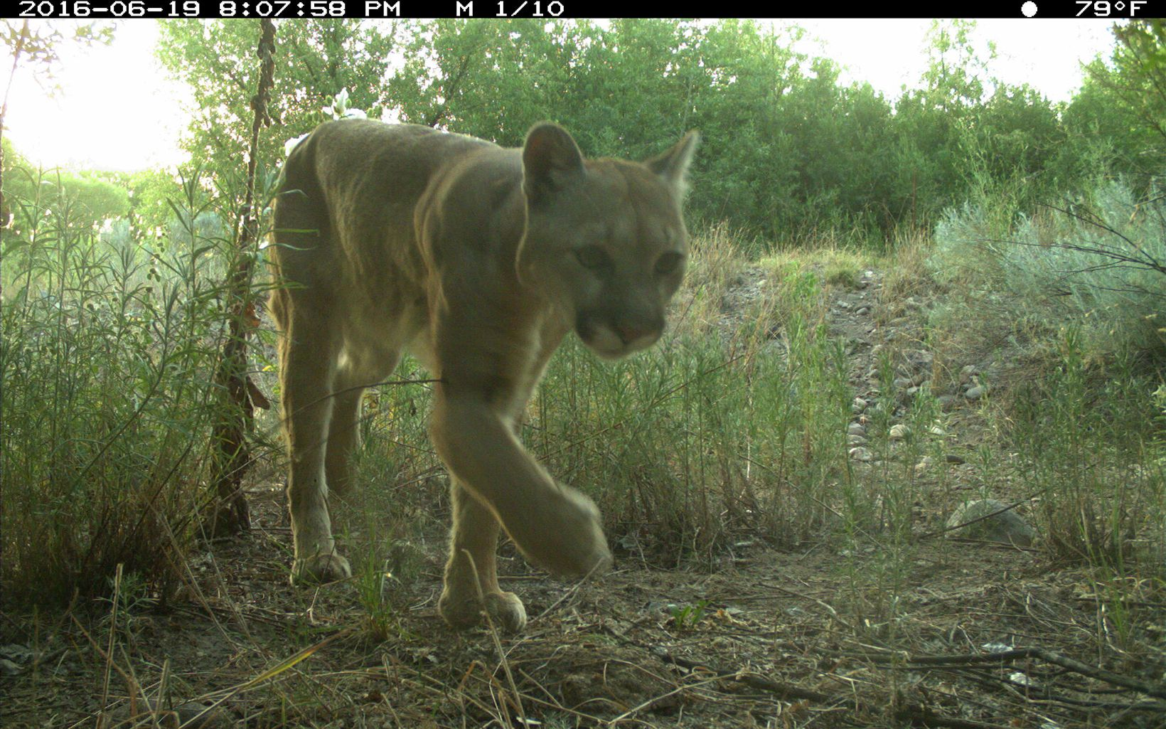 Mountain lion walks through low brush.