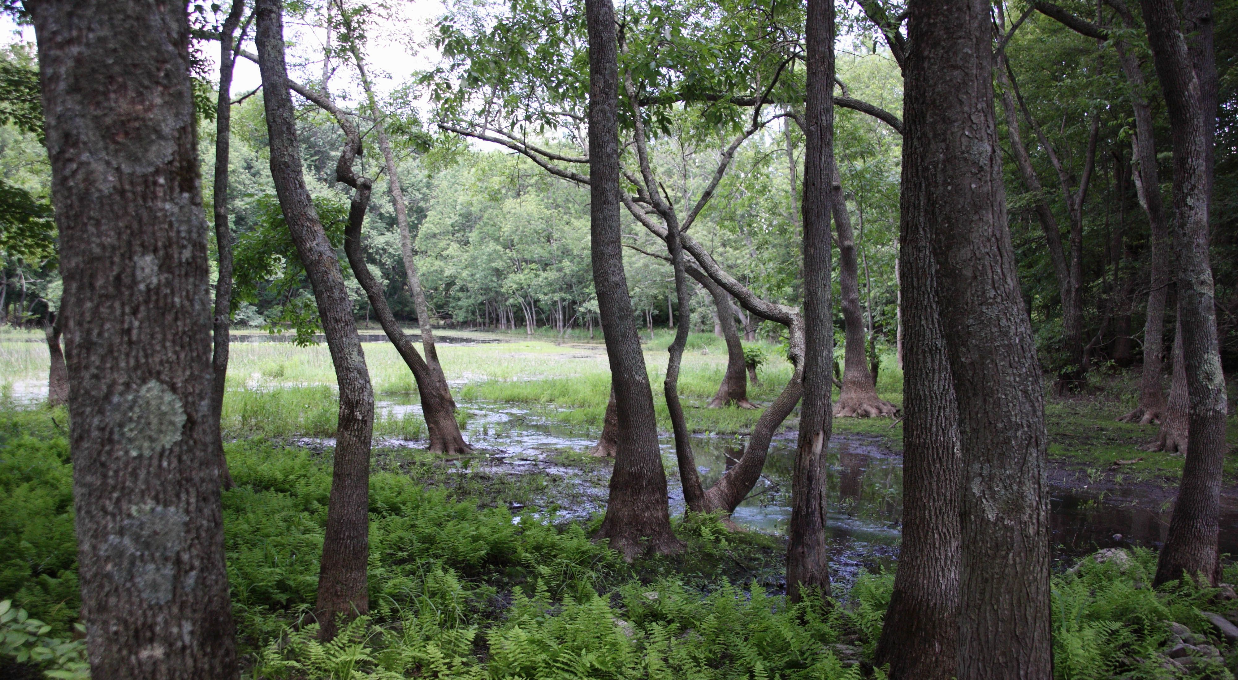The forested woodlands and unusual ponds of Muckshaw Ponds Preserve in New Jersey.