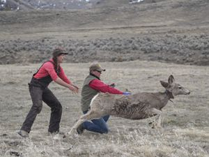 Researchers release a mule deer with a tracking collar.