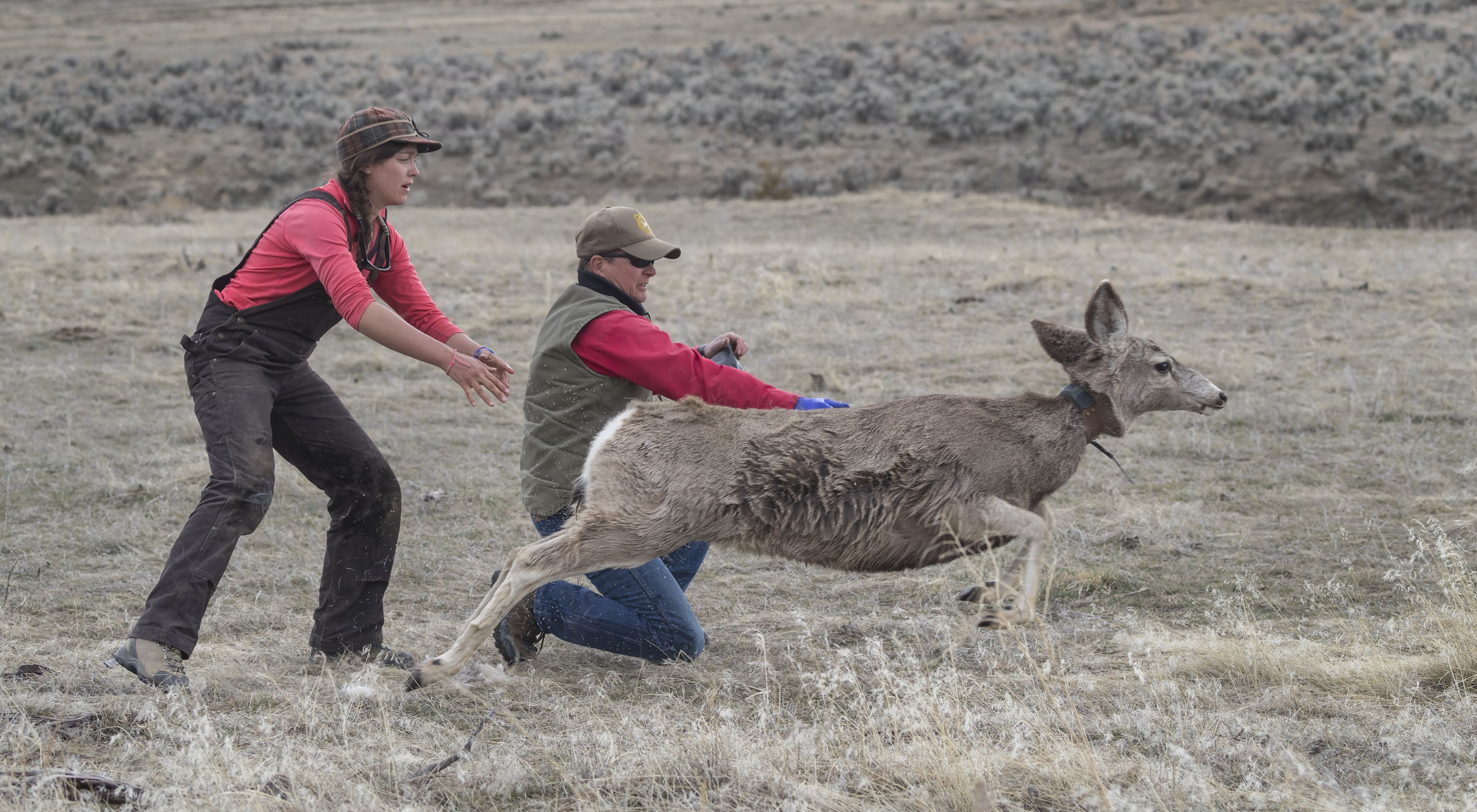 Two researchers release a mule deer with a tracking collar around its neck.