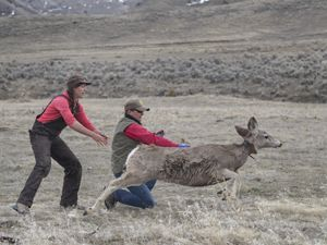 A mule deer runs away after being released.