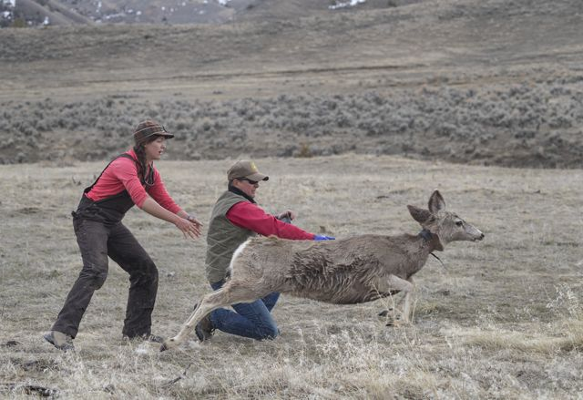 A mule deer is released after being collared by two biologists.