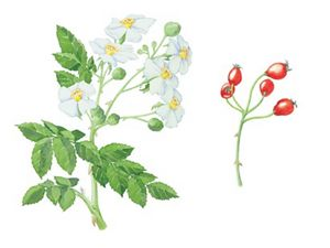 A drawing depicts white flowers of the multiflora rose.