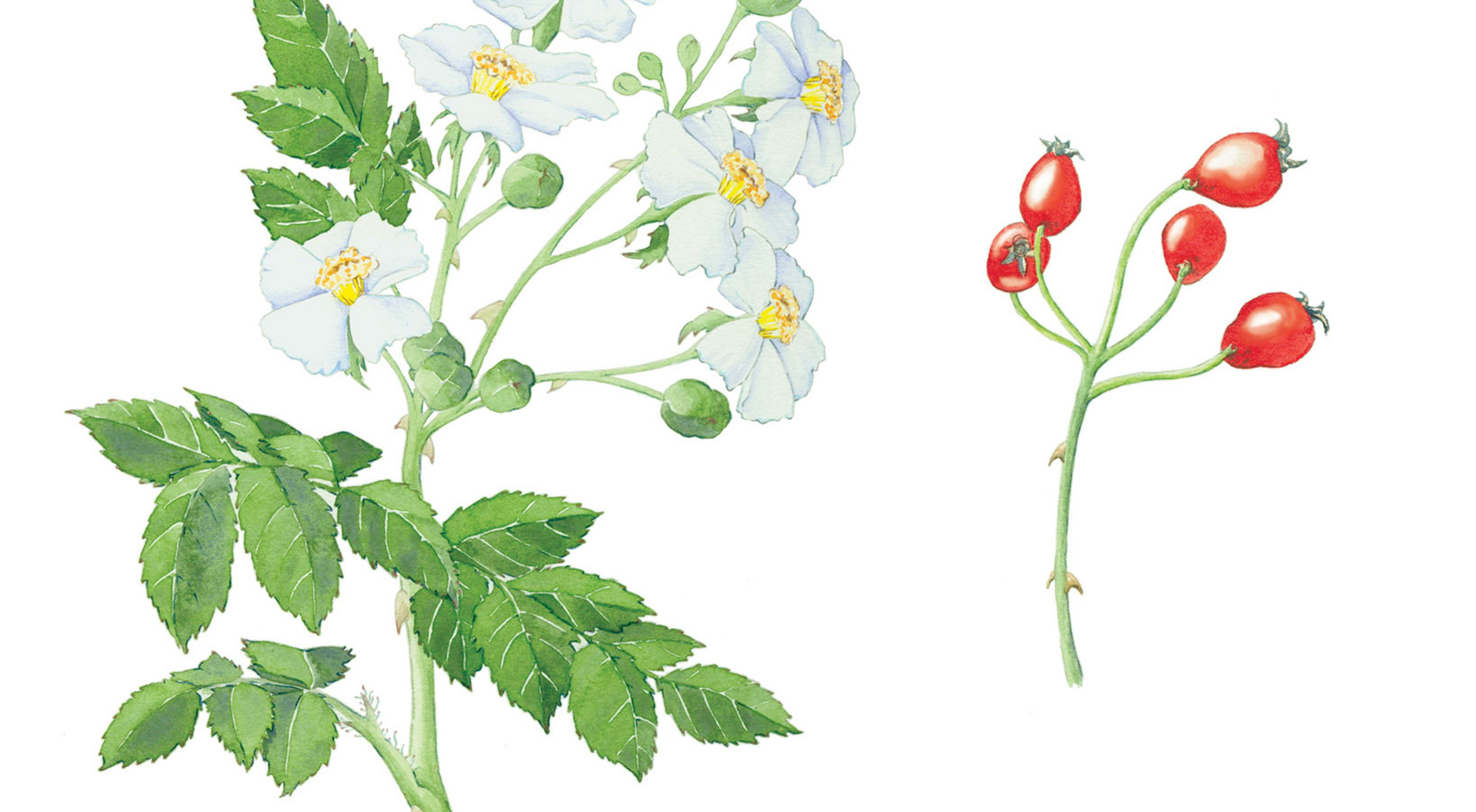 An illustration of a plant with small white flowers with a yellow center and pointed leaves. A second illustration shows the plant's red berries.