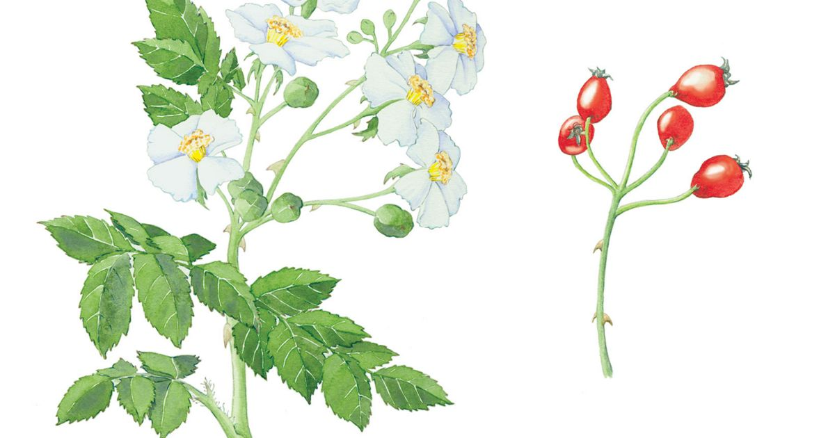Multiflora rose flowers and fruit illustration