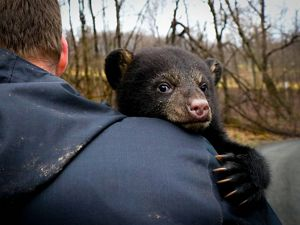 A black bear cub (Ursus americanus) holds on tight during a tagging project by USFWS.