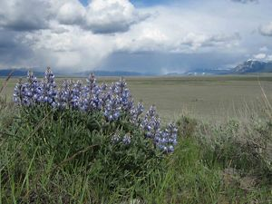 Lupine growing in Montana's Centennial Valley