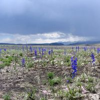 Native wildflowers sprouting after the Martin Fire in northern Nevada