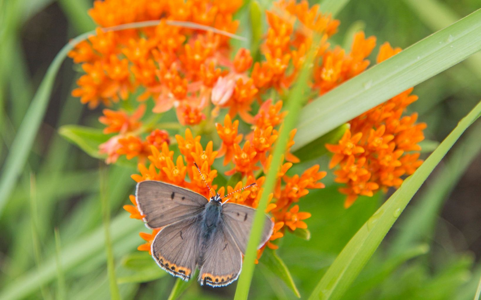 Butterfly feeding on butterfly milkweed plant.