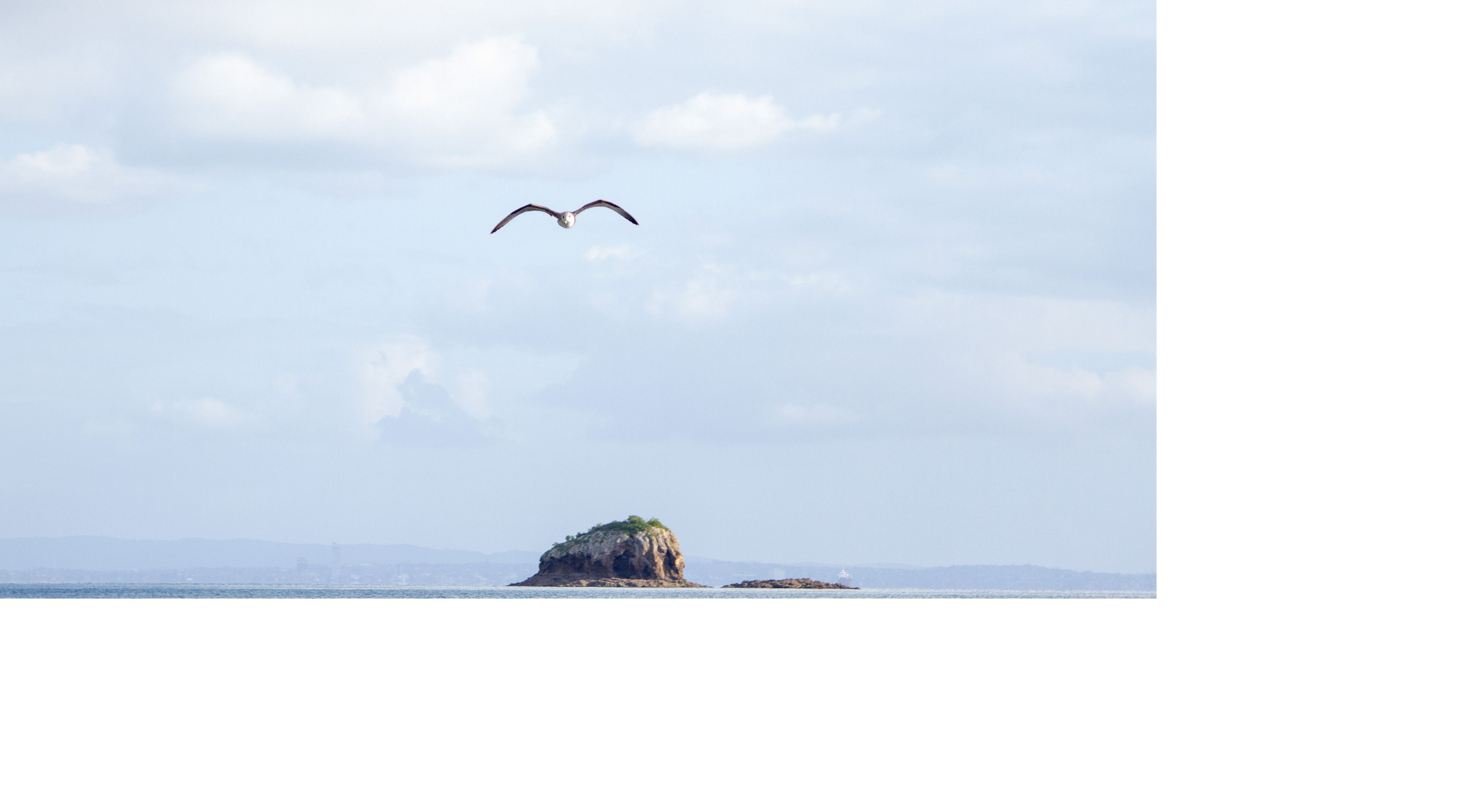 A seabird glides on air currents as it flies between islands in the Hauraki Guilf, Aotearoa New Zealand