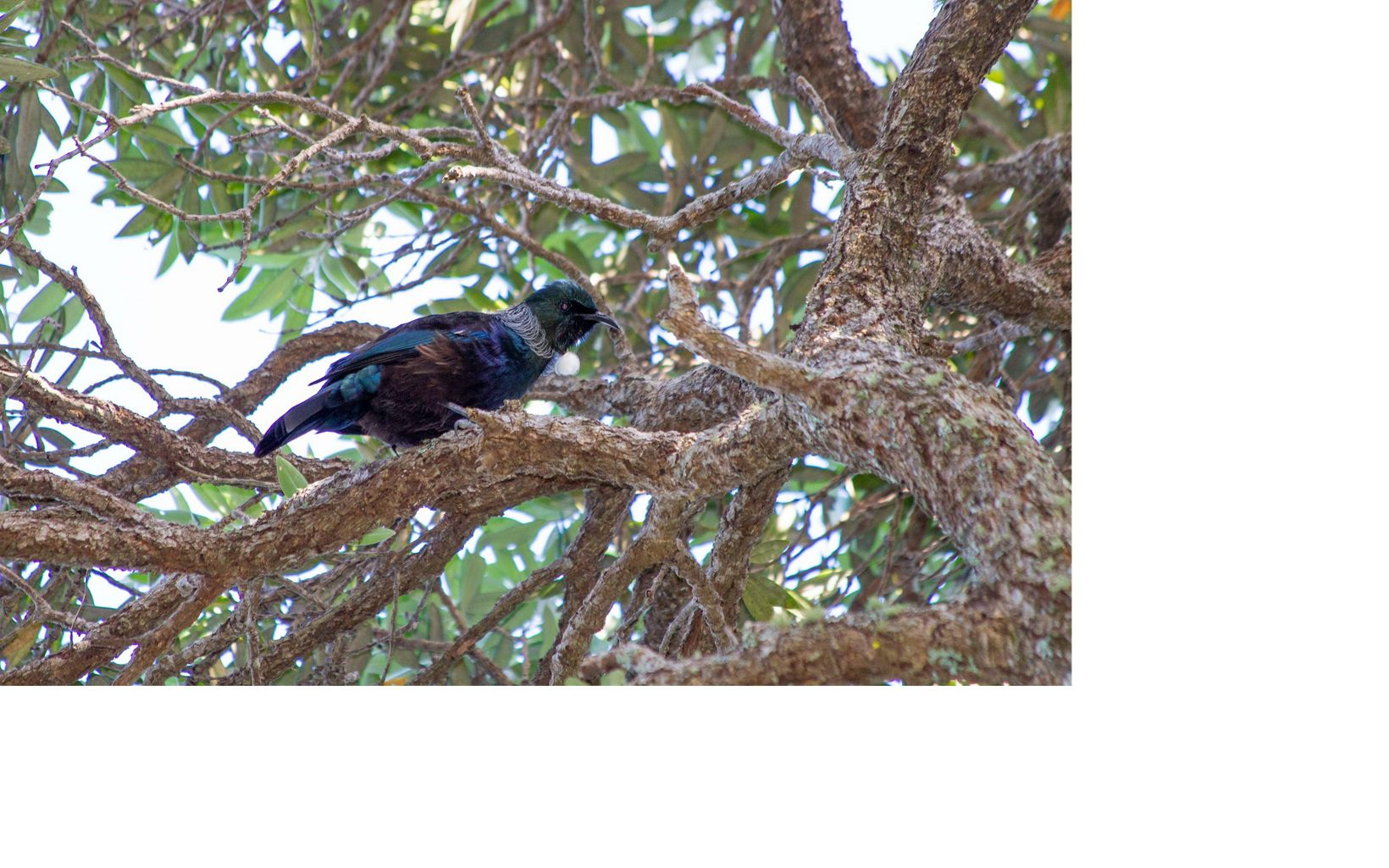 An endemic species that can be found throughout Aotearoa New Zealand, the Tui can imitate sound much like a parrot and has two small white tufts of feathers at its neck.