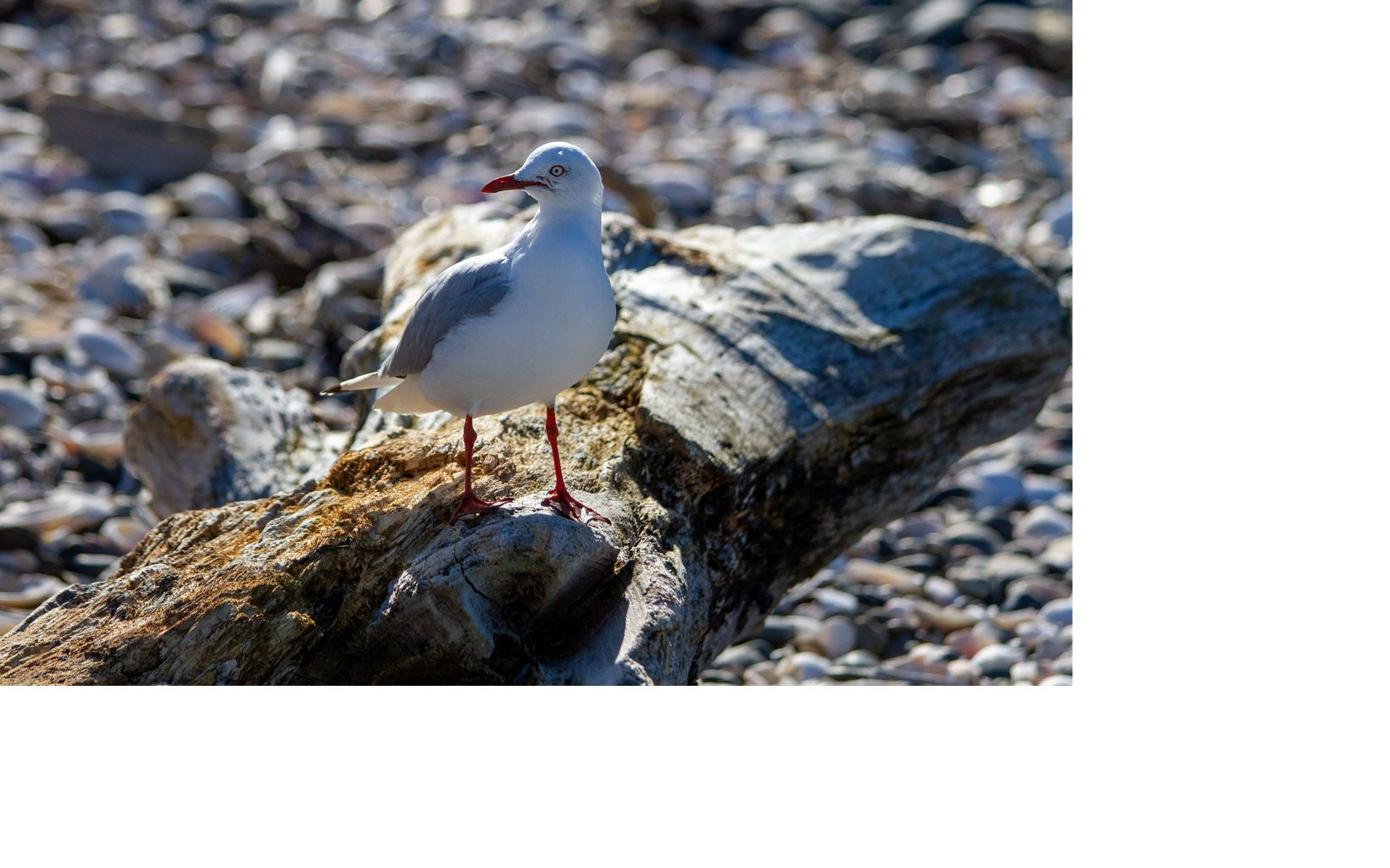 Endemic to New Zealand, this Gull, eyed us hopefully keeping track of crumbs as we finished our snacks on the beach. Red-billed Gulls breed widely on islands such as Otata.