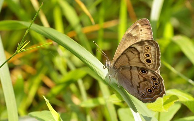 A small light brown butterfly with darker brown and white spots sits on green grasses.