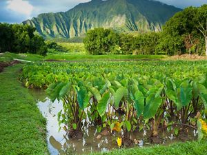 In partnership with Kāko'o ʻŌiwi, TNC is reintroducing traditional farming to minimize flood damage, reduce sediments and nutrients flowing into Kāneʻohe Bay.