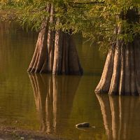 Water surrounds thick tree trunks.